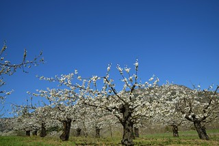 Les cerisiers à Mostuéjouls