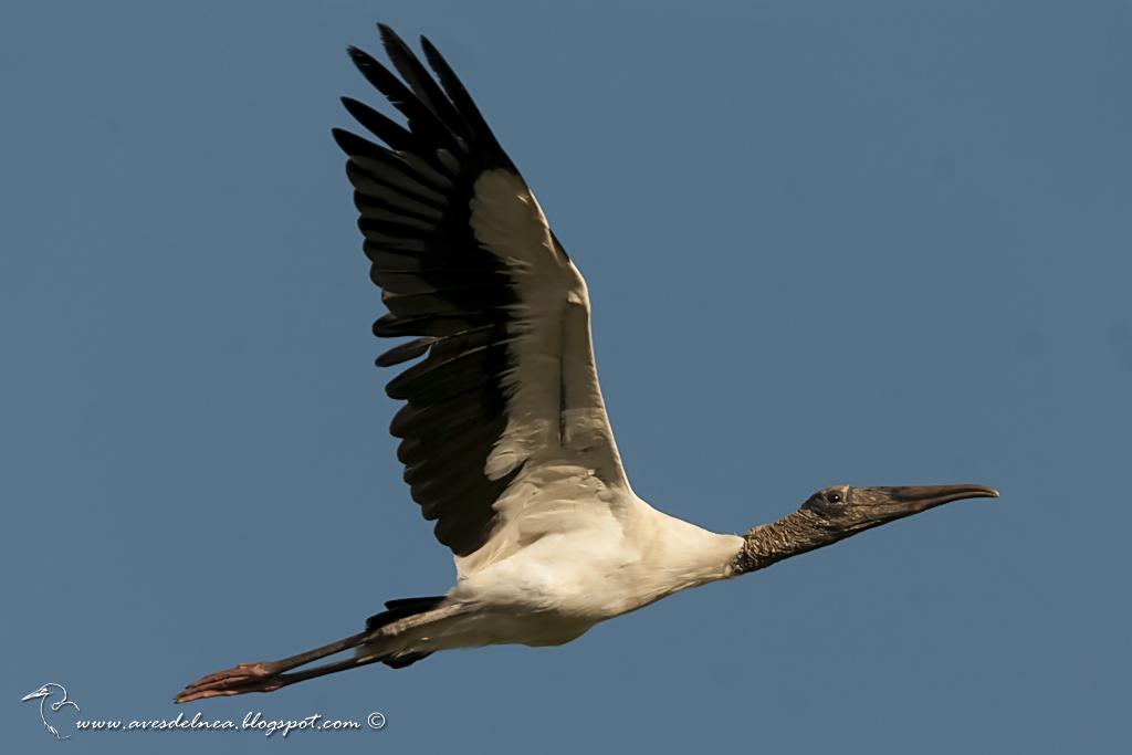 Tuyuyú (American wood Stork) Mycteria americana