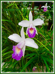 Arundina graminifolia (Bamboo Orchid, Bird Orchid) at our inner border, Apr 27 2015