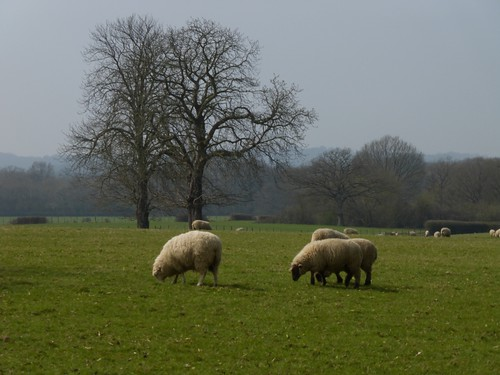 Sheep grazing near Frittenden