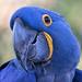 Smilin' Sammy - Hyacinth Macaw (Anodorhynchus hyacinthinus) - Animal Ambassador/Children's Zoo - San Diego Zoo by SARhounds