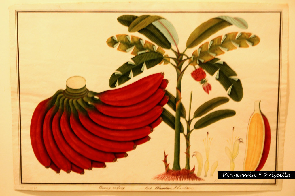 Banana plant and fruit drawing by William Farquhar
