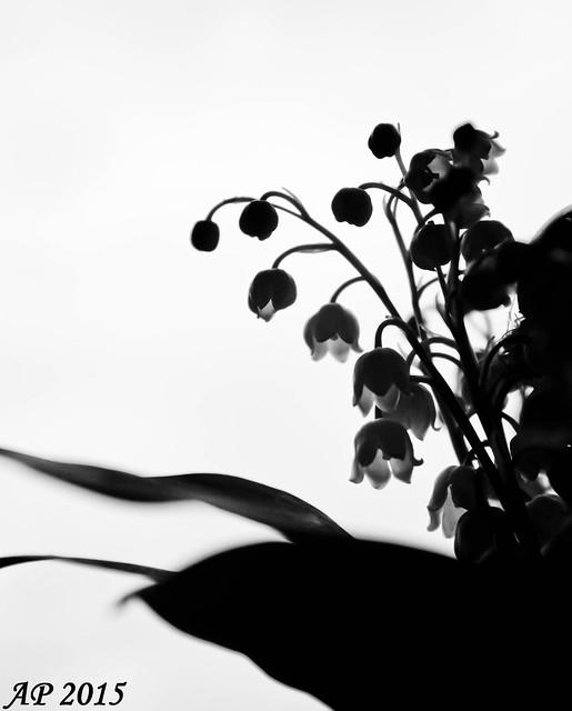 Fleur de Mai / May Flower