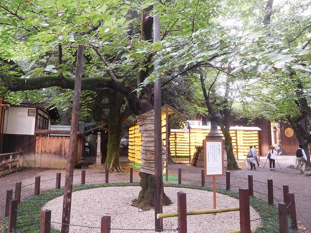 桜の標準木