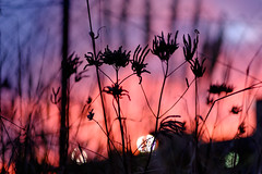 Livid sunset weeds