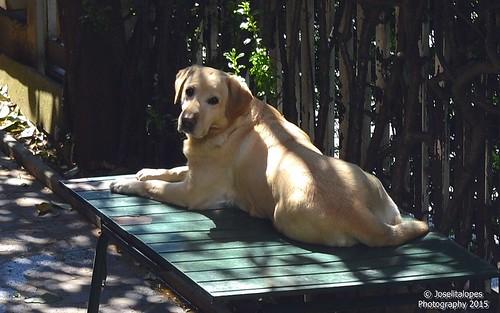 Linda, my neighbor labrador female :-) DSC_0599