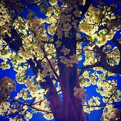 It's the season of Callery Pear Tree flowers