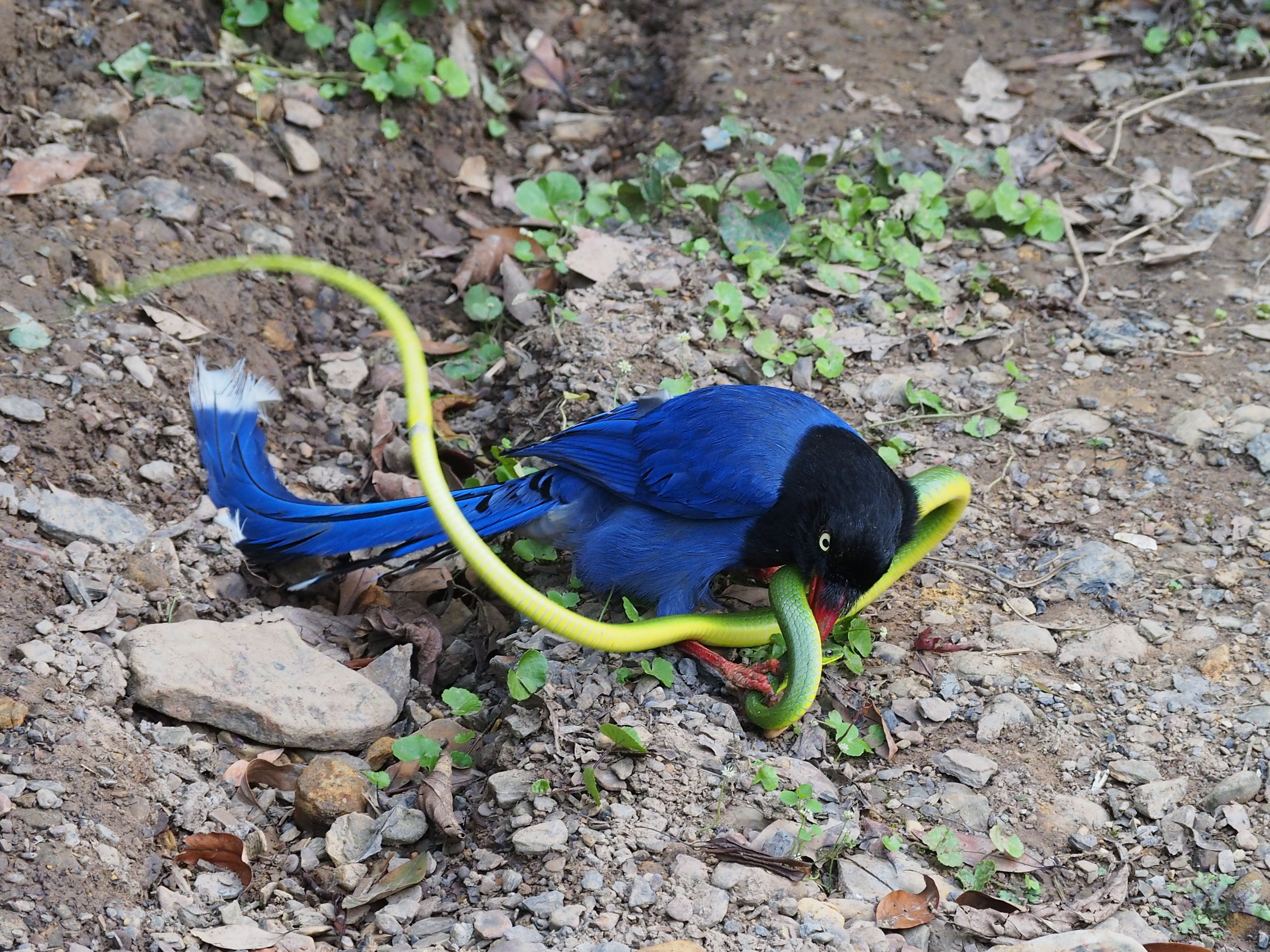 藍鵲VS青蛇