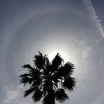 Halo Palm Tree