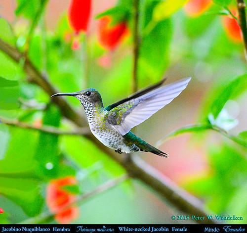 ecuador hummingbird ngc colibri picaflor mindo jacobin pichincha florisugamellivora chupaflor florisuga ecuadorbirds southamericanbirds sleepinghibiscus jacobino ecuadorhummingbirds jacobinonuquiblanco peterwendelken hummingbirdphotobypeterwendelken southamericanhummingbirds mindohummingbirds whiteneckedjacobinfemale whiteneckedjacobininecuador malvariscusarboreus whiteneckedjacobinhovering