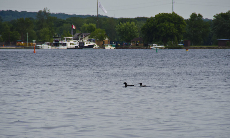 Port Severn Loons