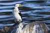 Little Pied Cormorant 2015-05-03 (_MG_2969)