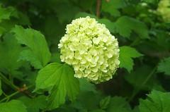 shrub(0.0), thimbleberry(0.0), produce(0.0), hydrangea(1.0), annual plant(1.0), flower(1.0), guelder rose(1.0),