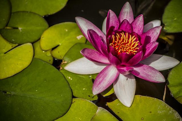 La akvo lilio