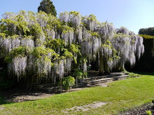 Sundial Gardens Wisteria © Dave Marsh