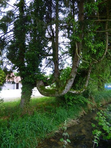 curiosité delle haie ruisseau batte branchescourbées