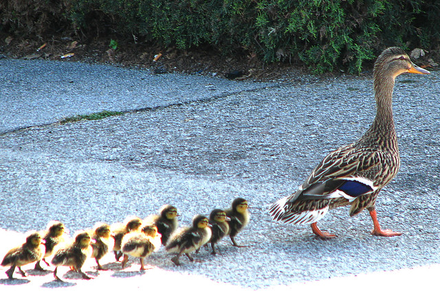 mother mallard with ducklings