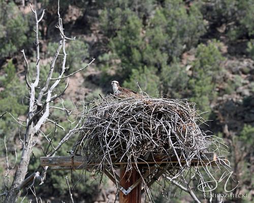 Osprey Nest 9605-15