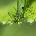 Speckled bush-cricket (Leptophyes punctatissima) eating by Ian Redding