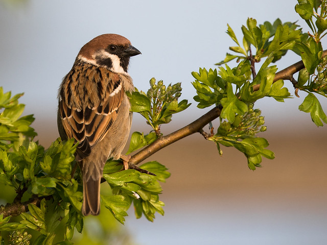 Sparrow in Evening Light [Explored 2016-07-20] - Spatz im Abendlicht (Joe)