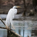 Great Egret by malarchie