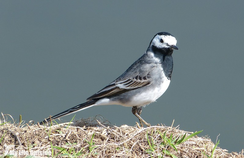 P1120104 - Pied Wagtail