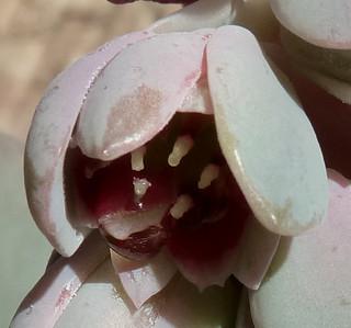 Pachyphytum oviferum 17043258388_aeb6bd806d_n
