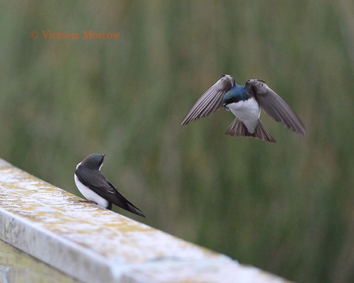 Tree swallows, one flying, one yelling