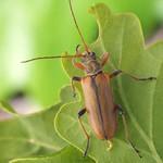 négyfoltos cserjecincér - Cortodera humeralis