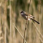 Whitethroat Singing - Newport Wetlands #7