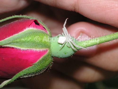 A golden rod spider having long front legs on a rose flower