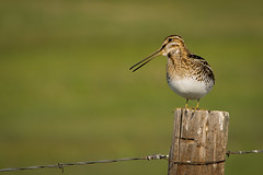 animal, nature, fauna, close-up, snipe, beak, bird, wildlife,