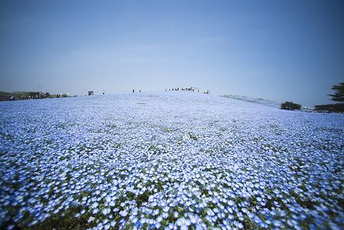 park blue sky flower japan ed seaside nikon wide nikkor ibaraki nemophila d600 14mm hitachinaka f28d