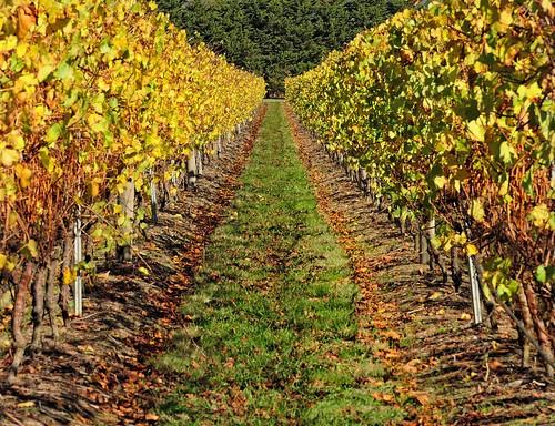 autumn landscape vineyard vines nikon australia victoria autumnleaves winery yarravalley rows plantation vic grapevines coldstream yarraglen p600 nikoncoolpixp600 phunnyfotos meletos