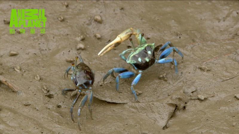 充滿油質與化學藥品的污水,已經開始危害濕地裡動植物的健康。圖為招潮蟹。(動物星球頻道提供)