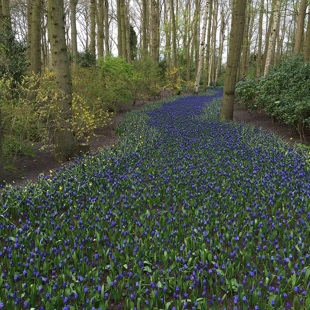 A river of grape hyacinth