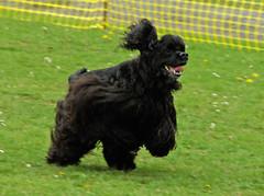 tibetan terrier(0.0), havanese(0.0), english cocker spaniel(0.0), dog breed(1.0), animal(1.0), dog(1.0), schnoodle(1.0), pet(1.0), spaniel(1.0), cockapoo(1.0), portuguese water dog(1.0), american cocker spaniel(1.0), carnivoran(1.0),