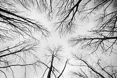 Looking up at Bare Trees