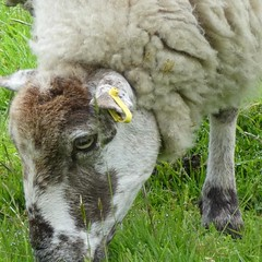 Week 21 #cf16 #animalfaces Sheep!