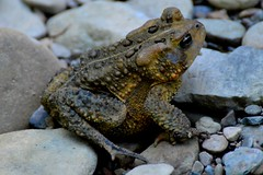 Toad at Hell Hollow