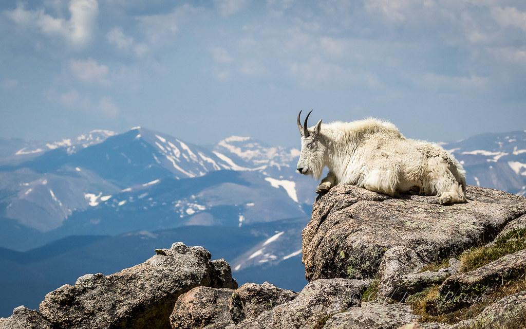 Mountain goat on top