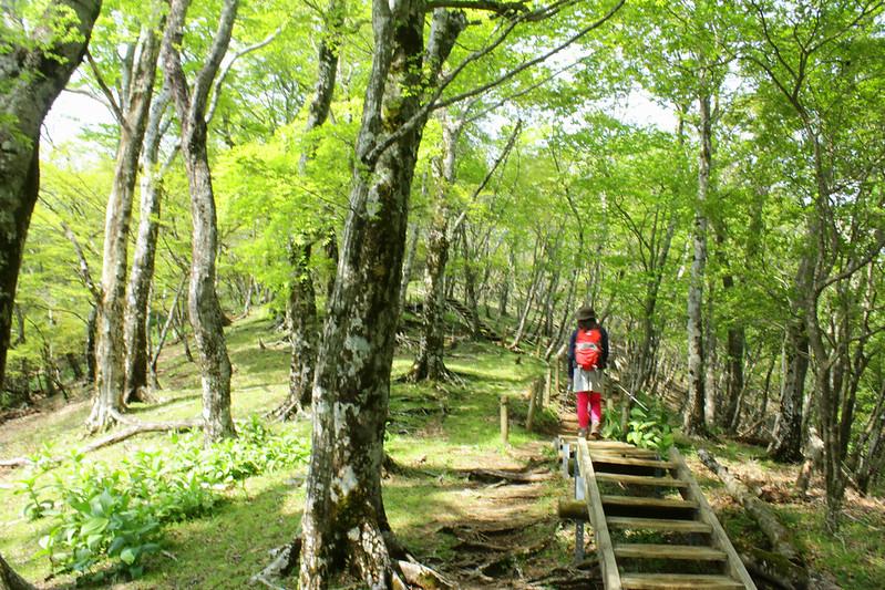 鍋割山の新緑の登山道