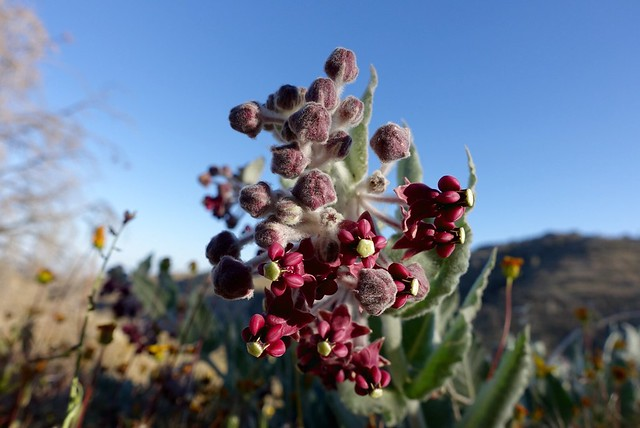 Red milkweed, m554