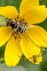 bee-on-wildflower-0168-2