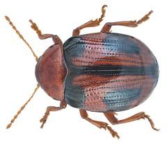 Rhembastus variabilis Harold, 1877
