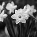 Daffodils...