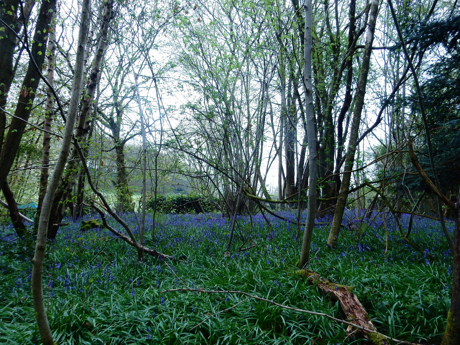 Bluebells first woods Hurst Green to Chiddingstone Causeway