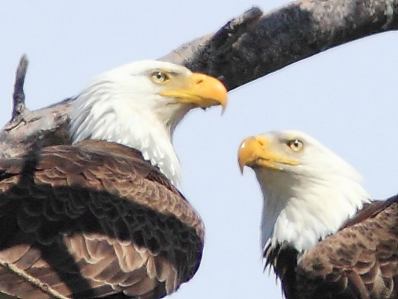 Bald Eagles DETAIL 20150429