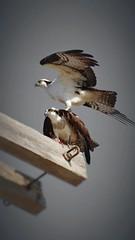piggyback osprey