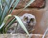 Peeking Owlet
